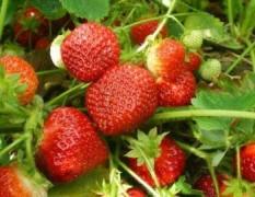 В Астраханской области фермеры впервые высадили клубнику по адыгейской технологии