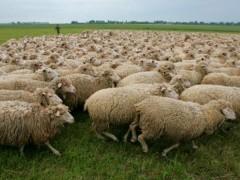 В Дубовском районе Ростовской области ветинспекторы выявили 400 нелегально ввезенных овец