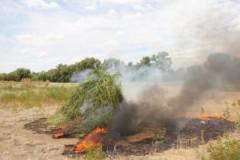 Крупный очаг конопли уничтожен в Лаганском районе Калмыкии