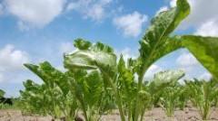 На Кубани будет создан опорный селекционно-семеноводческий центр по сахарной свекле