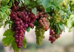 Доля кубанского винограда в общероссийском объёме урожая янтарной ягоды составляет около 45%