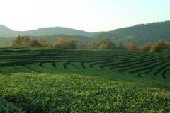 455 гектаров чайных плантаций восстановят на Кубани до 2021 года