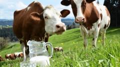 На Кубани разработана программа по развитию молочного животноводства