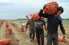 На Кубани аграрии, нанимающие нелегальных мигрантов, будут лишены господдержки