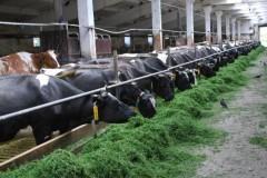 Кубанские аграрии получат гранты на развитие семейных животноводческих ферм