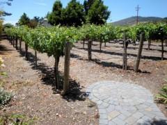 На Кубани идет закладка виноградников