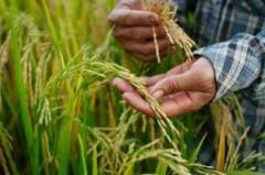 Рисовые планы
