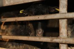 На Дону пресечена попытка незаконного вывоза в Дагестан 250 овец