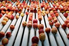 На Кубани собрали рекордный урожай яблок