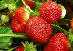 На Ставрополье производство ягод за год выросло на 30%