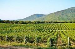 На Кубани в 2019 году заложат 2,4 тысяч га молодых виноградников