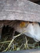 На въезде в Каменск-Шахтинский задержали отару овец