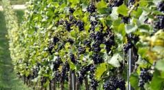 Общая площадь виноградников на Кубани увеличится более чем на 2,4 тыс. га