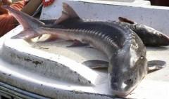 В Калмыкии у жителя Саратовской области полицейские изъяли рыбу осетровых пород