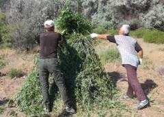 Крупный очаг дикорастущей конопли уничтожен в Лаганском районе Калмыкии