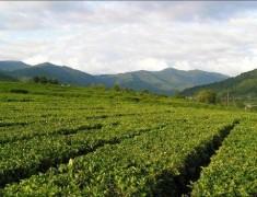 Развитие кубанского чаеводства