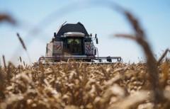 Урожай зерновых на Кубани превысил 6,4 млн тонн