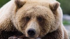 В США медведь, сев в машину, устроил ДТП