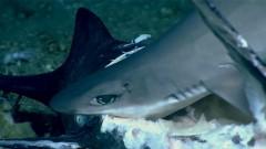 Акула внезапно сама оказалась съедена рыбой