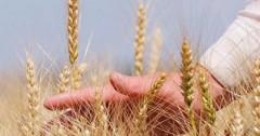 С начала года кубанские аграрии получили 2,2 млрд рублей господдержки