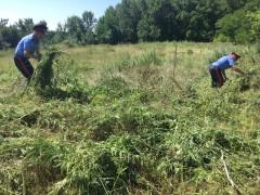 В Ростовской области уничтожено 1,5 га участков произрастания дикорастущей конопли