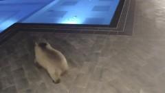В Болгарии медведи пробрались в SPA-салон и искупались в бассейне
