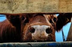В Красносулинском районе донские полицейские раскрыли кражу скота