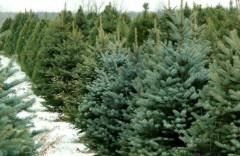 Опрос: 52% россиян выбирают живую елку