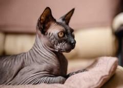 Оказалось, что 48% россиян не нравится бесшерстная порода кошек