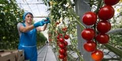 На Кубани с начала года собрали около 6 тысяч тонн тепличных овощей