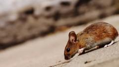 В Китае сообщили о первой смерти от хантавируса