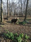 В Невинномысске на самоизоляции олень сбросил рога