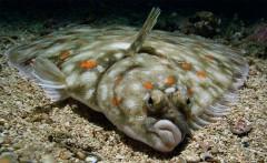 Ближайшие два месяца запрещается вылов камбалы-калкана и акулы-катрана
