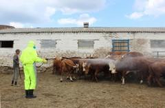 Ветврачи Ростовской области провели около 1 миллиона противоклещевых обработок скота