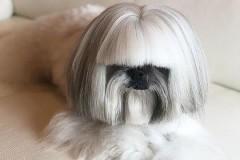 Похожая на Леди Гагу собака покорила пользователей Сети