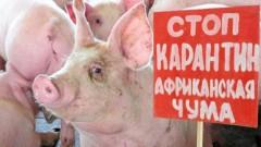 В Тарасовском районе Дона снят карантин по африканской чуме свиней