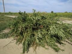 Наркосодержащие растения уничтожены под Темрюком