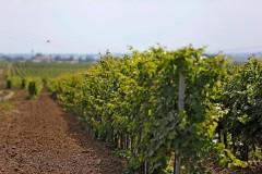 На развитие виноделия и виноградарства в Краснодарском крае направлено более 2,3 млрд рублей