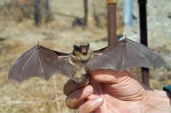 Роспотребнадзор выявил коронавирусы у летучих мышей