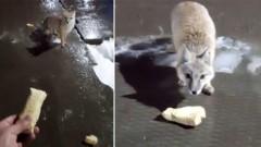 Житель Новосибирска покормил дикую лису блином