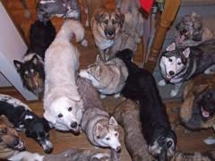 Китаянка поселила в доме 1300 собак, 100 кошек и четыре лошади