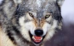 Мужчина голыми руками отбился от напавшей волчицы