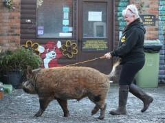Кабан Оукли продемонстрировал повадки собаки, гуляя на поводке