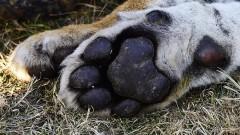 В Приморье за убийство амурского тигра задержаны два браконьера