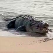 Четырехметровый крокодил вышел из океана и съел двух акул