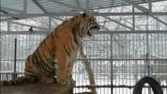 «Поющий» тигр в зоопарке Барнаула привлекает к себе внимание