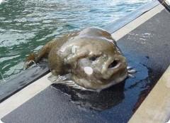 На Сахалине рыбаки выловили рыбу-лягушку