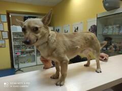 Ветеринарные врачи Ростова ищут хозяев для спасенного миниатюрного пса