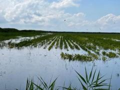 Проливные дожди на Кубани могут погубить урожай риса и винограда