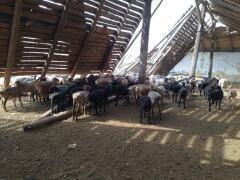 Украинец со стадом овец пытался незаконно пересечь границу с Россией